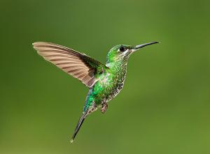 hummingbird-in-flight-hali-sowle
